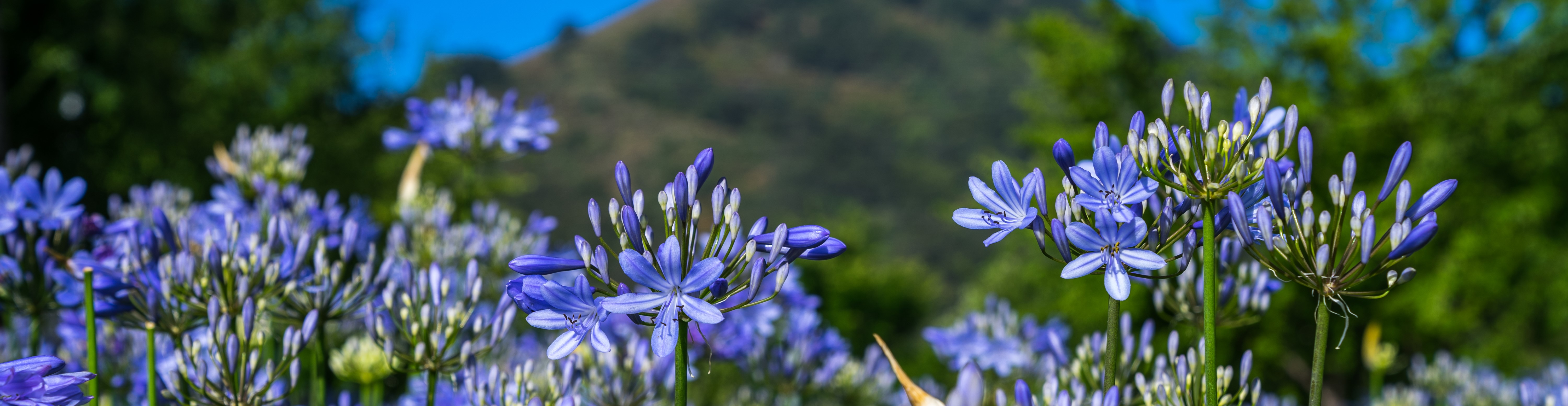 image of agapanthus flowers